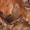 Costa Rica 2013: Uvita - 225 Moon Satyr (Nymphalidae: Satyrinae: Haeterini: Pierella luna luna)