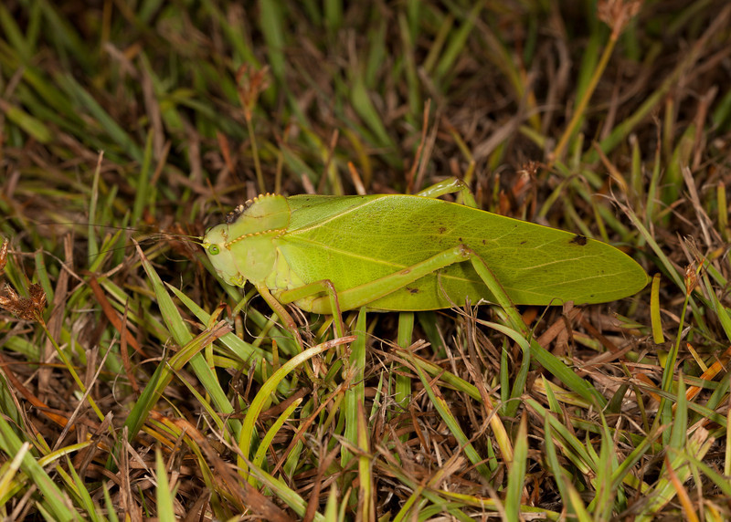 Costa Rica 2013: Uvita - 287 Katydid (Tettigoniidae: Phaneropterinae: Steirodontini: Steirodon sp.; probably S. dentatum)