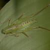 Costa Rica 2013: Uvita - 346 Katydid nymph (Tettigoniidae: possibly Conocephalinae)