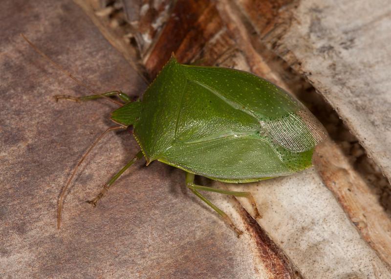 Costa Rica 2013: Uvita - 288 Green Stink Bug (Pentatomidae: Pentatominae: Chlorocorini: Loxa sp.; probably Loxa viridis)