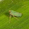 Costa Rica 2013: Uvita - 276 Coelidiine Leafhopper (Cicadellidae: Coelidiinae)