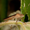 Costa Rica 2013: Uvita - 350 Spot-winged Broad-headed Bug (Alydidae: Alydinae: Burtinus notapennis)