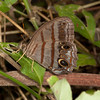 Costa Rica 2013: Uvita - 111 Blue-gray Satyr (Nymphalidae: Satyrinae: Satyrini: Magneuptychia libye)