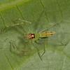 Costa Rica 2013: Uvita -  234 Green Jumping Spider (Salticidae: Lyssomaninae: Lyssomanes sp.; probably L. viridis)