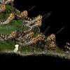 Costa Rica 2013: Uvita - Giant Grasshopper nymphs (Romaleidae: Romaleinae: Romaleini: Tropidacris cristata)