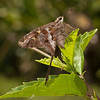 Costa Rica 2013: Uvita - 347 Blurry-striped Longtail Skipper (Hesperiidae: Eudaminae: Chioides catillus albius)
