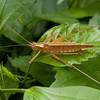Costa Rica 2013: Uvita - 322 Pseudophylline Katydid (Tettigoniidae: Pseudophyllinae: Cocconotini: Docidocerus sp.; probably D. saggittatus; possibly D. gigliotosi)