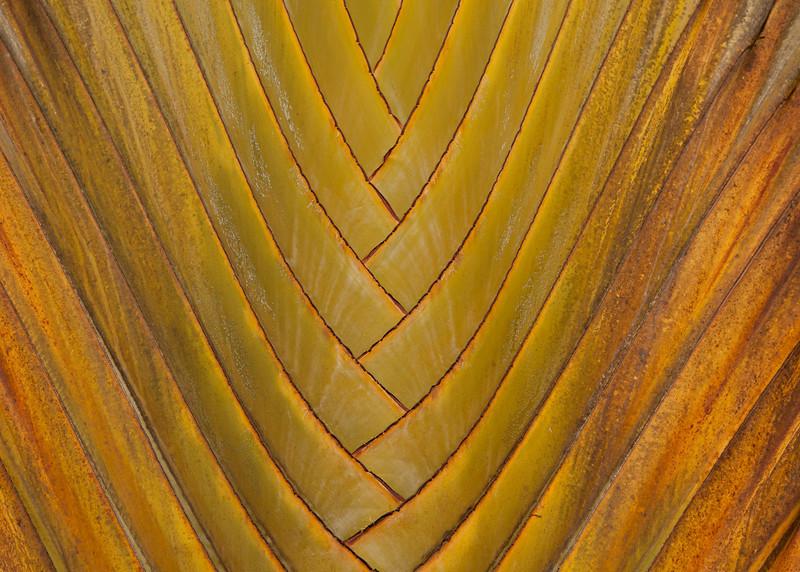 Costa Rica 2013: Uvita - 317 Traveller's Palm