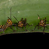 Costa Rica 2013: Uvita - 341 Giant Grasshopper nymphs (Romaleidae: Romaleinae: Romaleini: Tropidacris cristata)