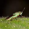 Costa Rica 2013: Uvita - 339 Soldier Fly (Stratiomyidae: possibly Hedriodiscus sp., Hoplitimyia sp. or Lobostigmina sp.)