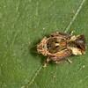 Costa Rica 2013: Uvita - 207 Gyponine Leafhopper nymph (Cicadellidae: Gyponinae)