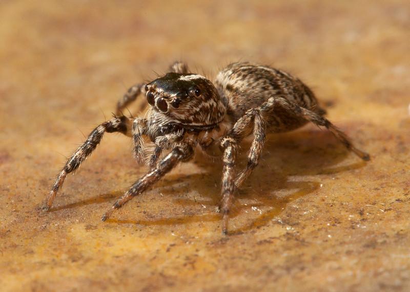 Costa Rica 2013: Uvita - 293 Jumping Spider (Salticidae: possibly Eris sp.)