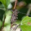 Costa Rica 2013: Uvita - 001 Longhorn Beetle (Cerambycidae: Lamiinae: Acanthoderini: Steirastoma histrionicum)
