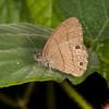 Costa Rica 2013: Uvita - 472 Hermes Satyr (Nymphalidae: Satyrinae: Satyrini: Hermeuptychia hermes)