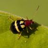 Costa Rica 2013: Uvita - 213 Bean Leaf Beetle (Chrysomelidae: Galerucinae: Luperini: Cerotoma sp.; possibly C. salvini)