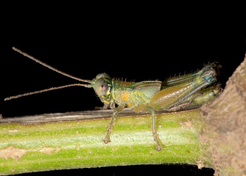 Costa Rica 2013: Uvita - 278 Grasshopper nymph (Acrididae)