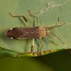 Costa Rica 2013: Uvita - 208 Leaf-footed Bug or Spur-legged Bug (Coreidae: Coreinae: Nematopodini: Nematopus sp.; probably N. lepidus; possibly N. nigroannulatus)