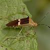 Costa Rica 2013: Uvita - 78 Leaf-footed Bug (Coreidae: Coreinae: Hypselonotini: Hypselonotus lineatus)