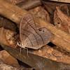 Costa Rica 2013: Uvita - 224 Moon Satyr (Nymphalidae: Satyrinae: Haeterini: Pierella luna luna)