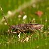 Costa Rica 2013: Uvita - 326 Dirt-colored Seed Bug (Rhyparochromidae: Rhyparochrominae: Ozophorini: Ozophora sp.)