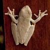 Costa Rica 2013: Uvita - 265 Gladiator Tree Frog (Hylidae: Hylinae: Hypsiboas rosenbergi)