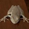 Costa Rica 2013: Uvita - 266 Gladiator Tree Frog (Hylidae: Hylinae: Hypsiboas rosenbergi)