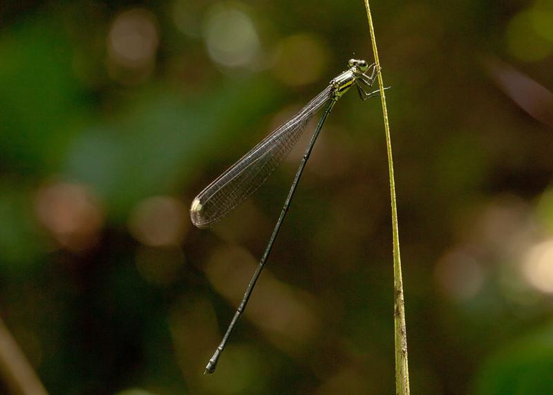 Costa Rica 2013: Uvita - 249 Helicopter Damselfly (Pseudostigmatidae: probably Pseudostigma sp.; possibly P. accedens)
