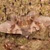 Costa Rica 2013: Uvita - 329 Geometrid moth?(Geometridae)