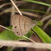 Costa Rica 2013: Uvita - 205 Hermes Satyr (Nymphalidae: Satyrinae: Satyrini: Hermeuptychia hermes)