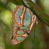 Costa Rica 2013: Uvita - 024 Malachite (Nymphalidae: Nymphalinae: Kallimini: Siproeta stelenes)