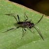 Costa Rica 2013: Uvita - 345 Ensign Wasp (Evaniidae)