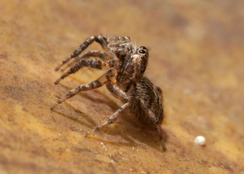 Costa Rica 2013: Uvita - 292 Jumping Spider (Salticidae: possibly Eris sp.)