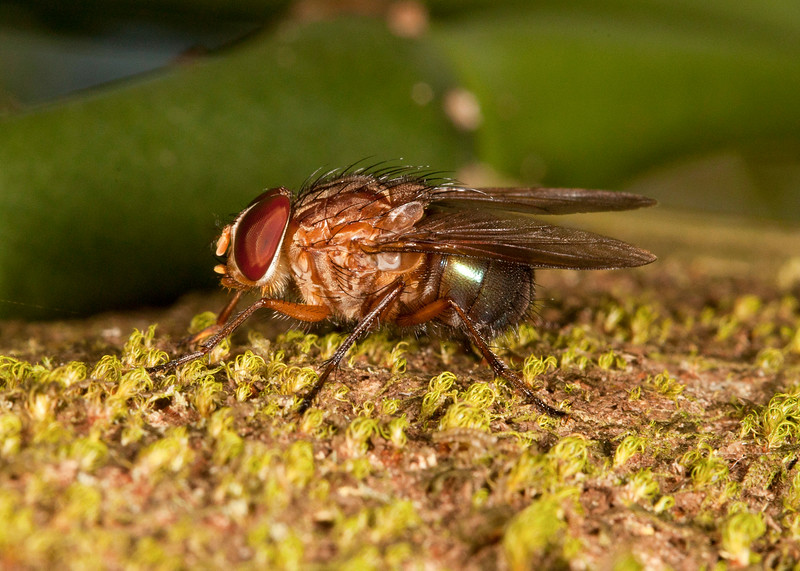 Costa Rica 2013: Uvita - 334 Blow Fly (Calliphoridae: Mesembrinellinae: probably Mesembrinella sp.; possibly M. bicolor)