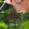 Costa Rica 2013: Uvita - 005 Plain Longtail (Hesperiidae: Eudaminae: Urbanus simplicius)