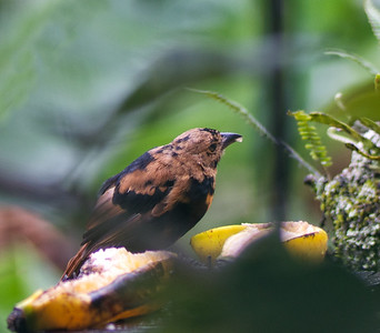 Juvenile Male White-lined Tanager