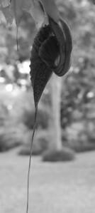 Aristolochia grandiflora