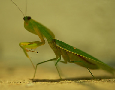 Hooded Preying Mantis
