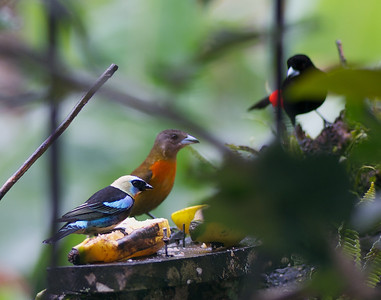Golden-hooded Tanager, Scarley-rumped Tanagers ♀︎♂︎