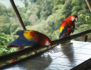 Scarlet Macaws enjoying papas fritas