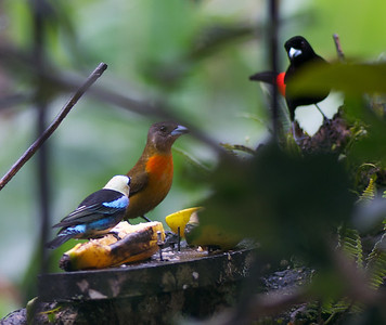 Golden-hooded Tanager, Female and Male Cherries Tanager
