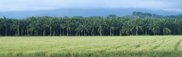 Oil Palms Plantation and Rice Fields