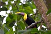 Back at the hotel, Matt found a chestnut-mandibled toucan that enjoyed being photographed.