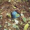 dead blue morpho