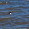 Mangrove swallow skimming the river