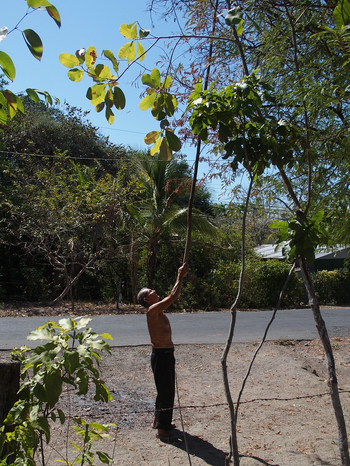 Picking tamarind from tree in his yard