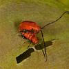 220 Flea Beetles_4189