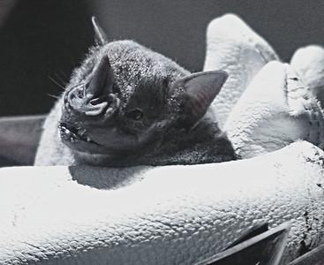 Bat. An insectivore bat, I think.