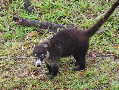 Coatimundi or ring-tailed coati (Nasua nasua), a mammal of the raccoon family