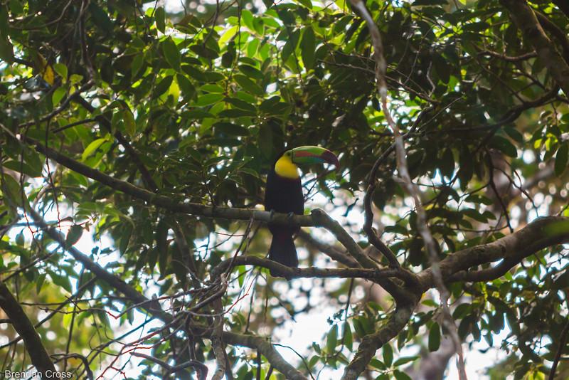 Beautiful toucan. A very symbolic Costa Rican bird.