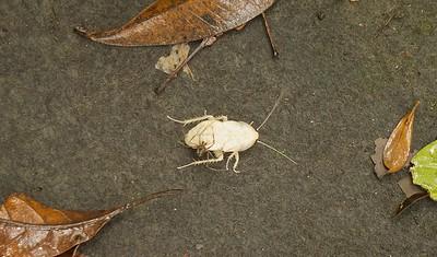 La Cucaracha Albino con La Araña